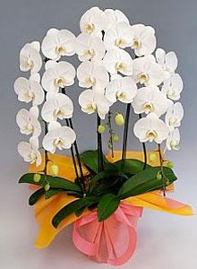 幸福の胡蝶蘭